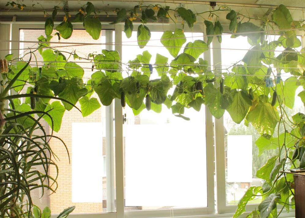 Как выращивать огурцы на балконе, пошаговая инструкция
