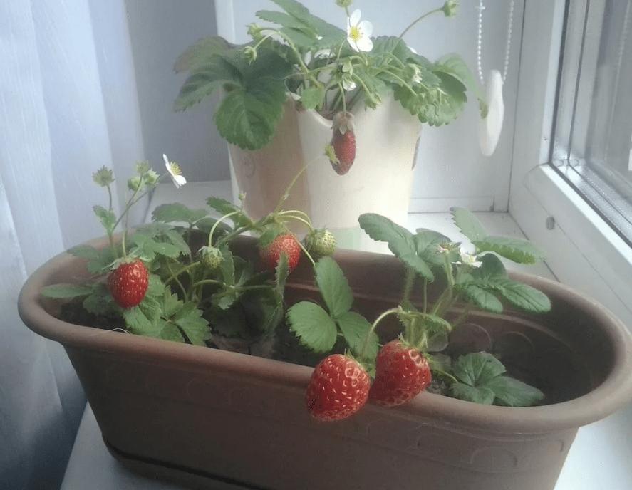 Клубника на балконе, способы выращивания, сорта, полив