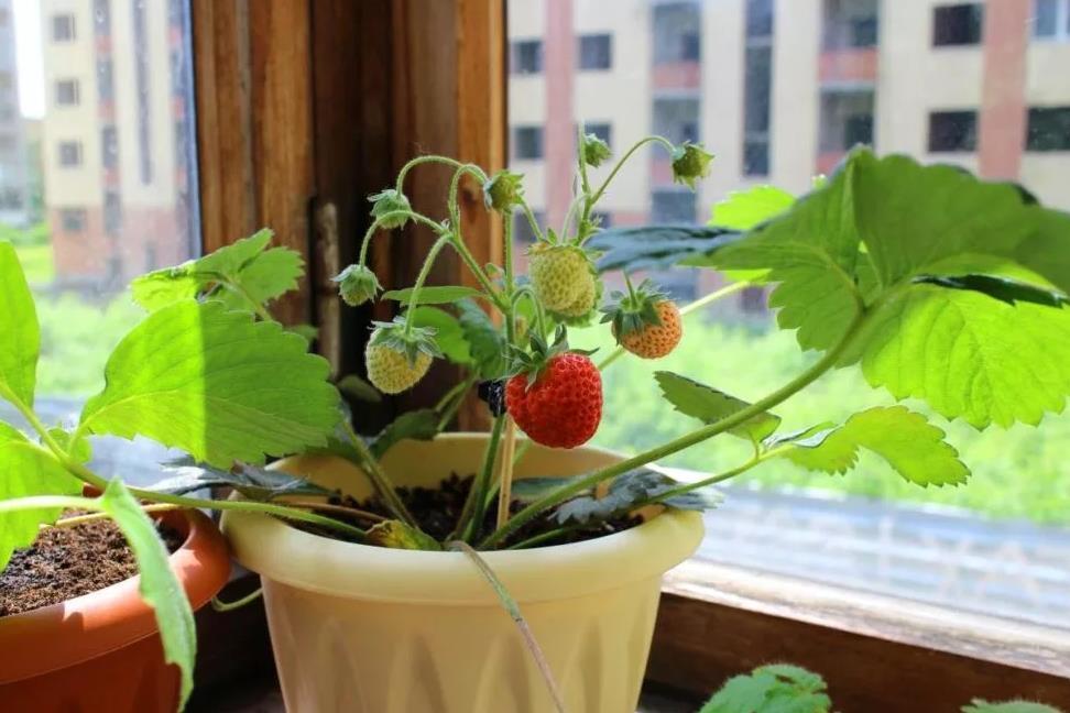 Земляника на балконе. Как выращивать разные сорта зимой и летом, пошаговая инструкция